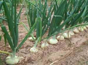 onion grower